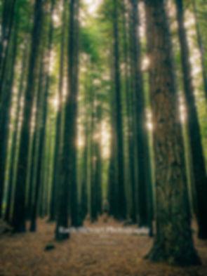 Redwood Forest Rotorua