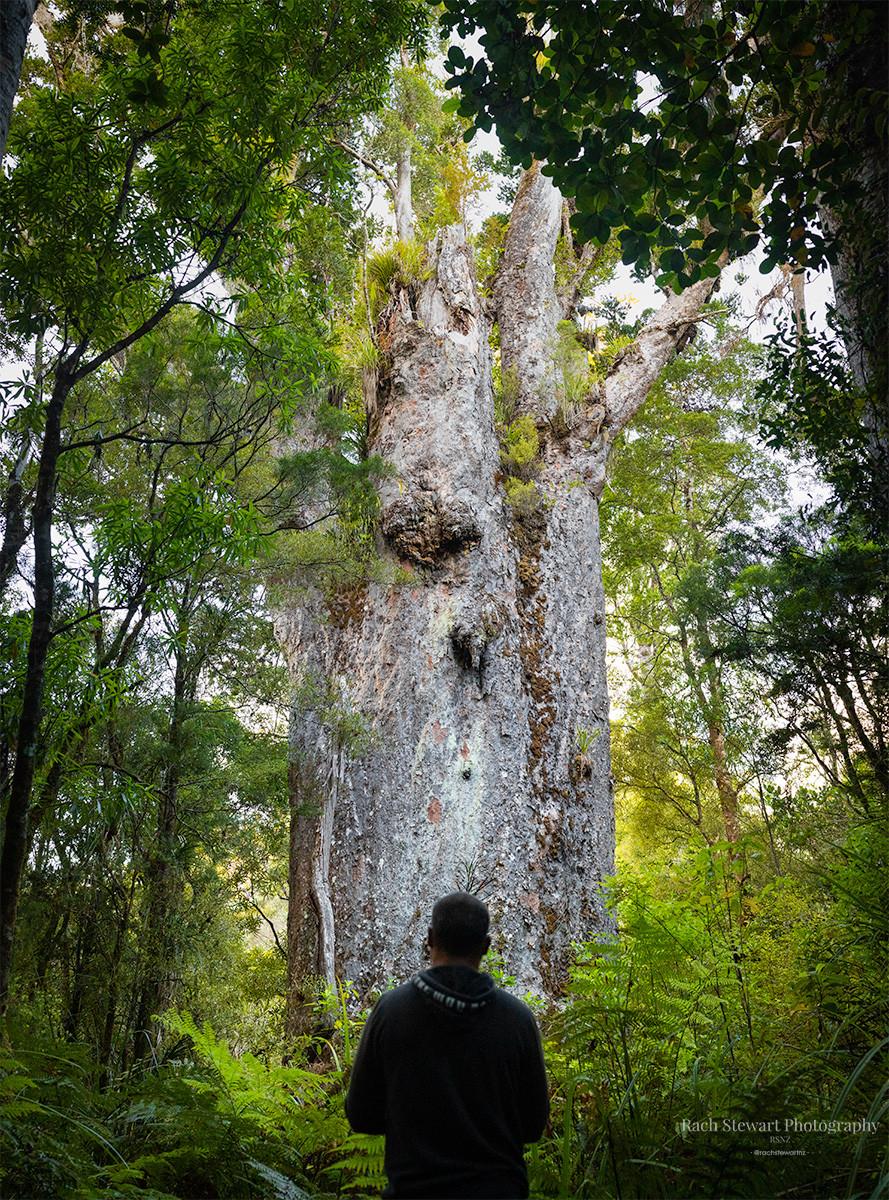 Te Matua Ngahere Waipoua Forest
