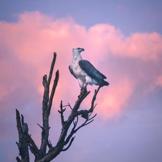 Australian-Sea-Eagle---Yellow-Water-Crui