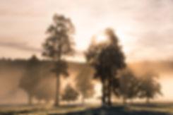 West Coast Kahikatea Trees Fog