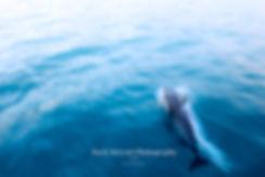 Kaikoura Dolphin
