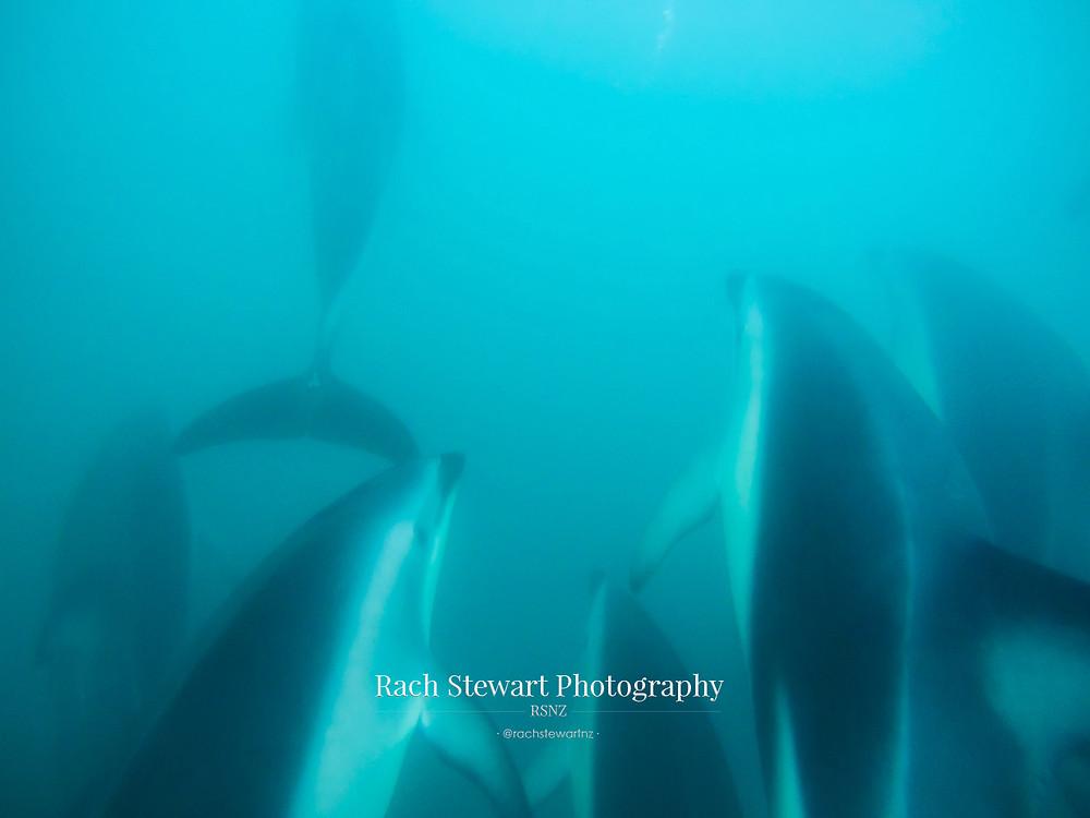 Underwater dolphins Kaikoura