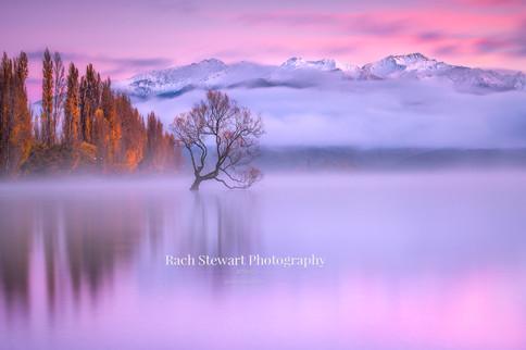 Wanaka Tree sunrise mist