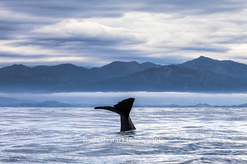 A resident sperm whale prepares for a big dive in Kaikoura