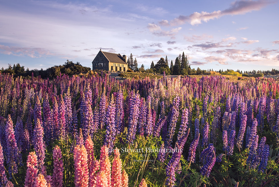 church-of-the-good-shepherd-lupins-2 (2)