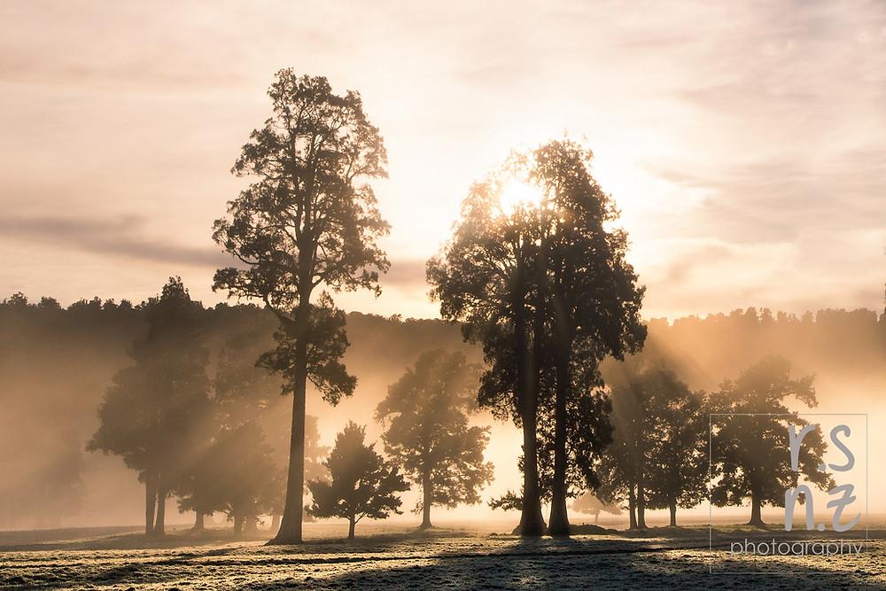 Kahikatea trees in the fog