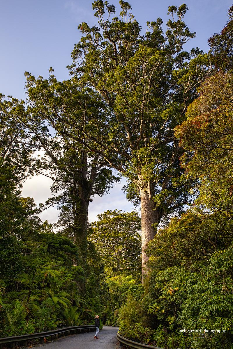 Waipoua Forest Kauri Trees