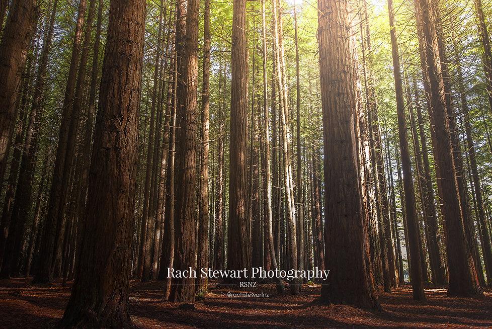 Redwoods Forest Rotorua