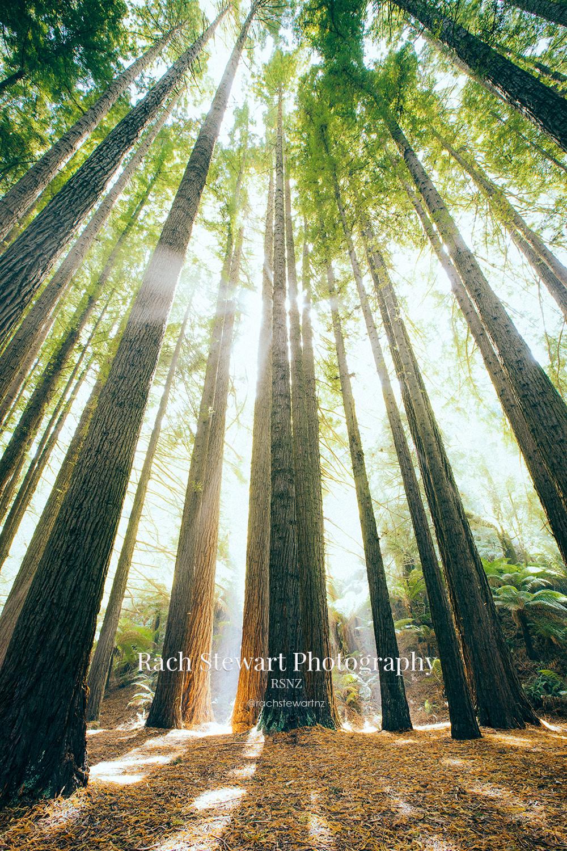 California Redwood Trees