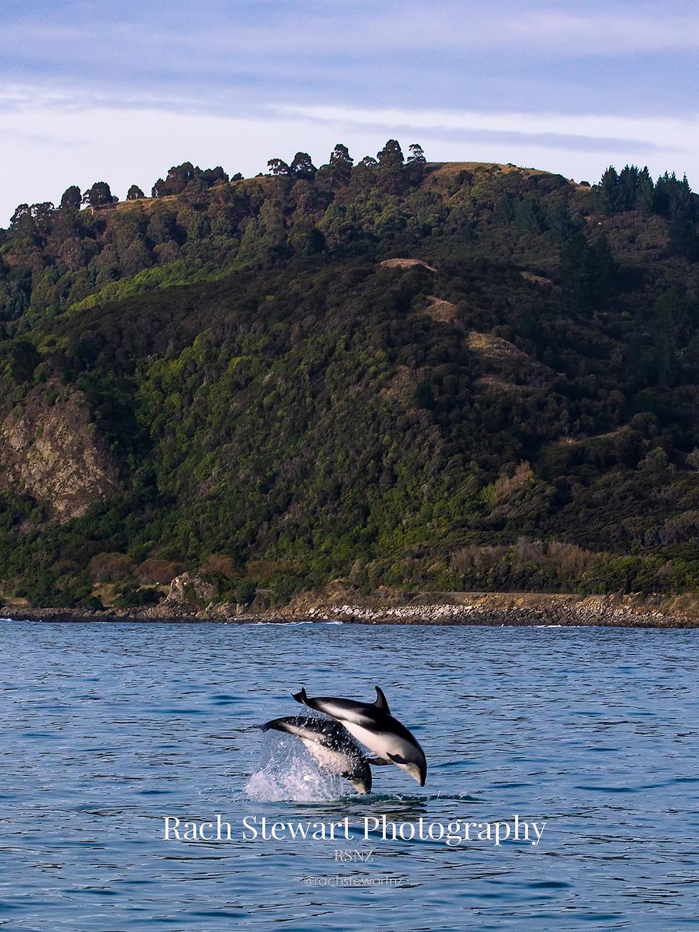 Dusky dolphins kaikoura