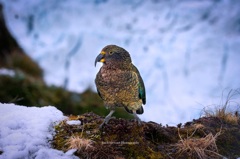 Kea Bird New Zealand