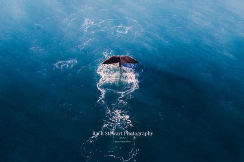 kaikoura sperm whale tail