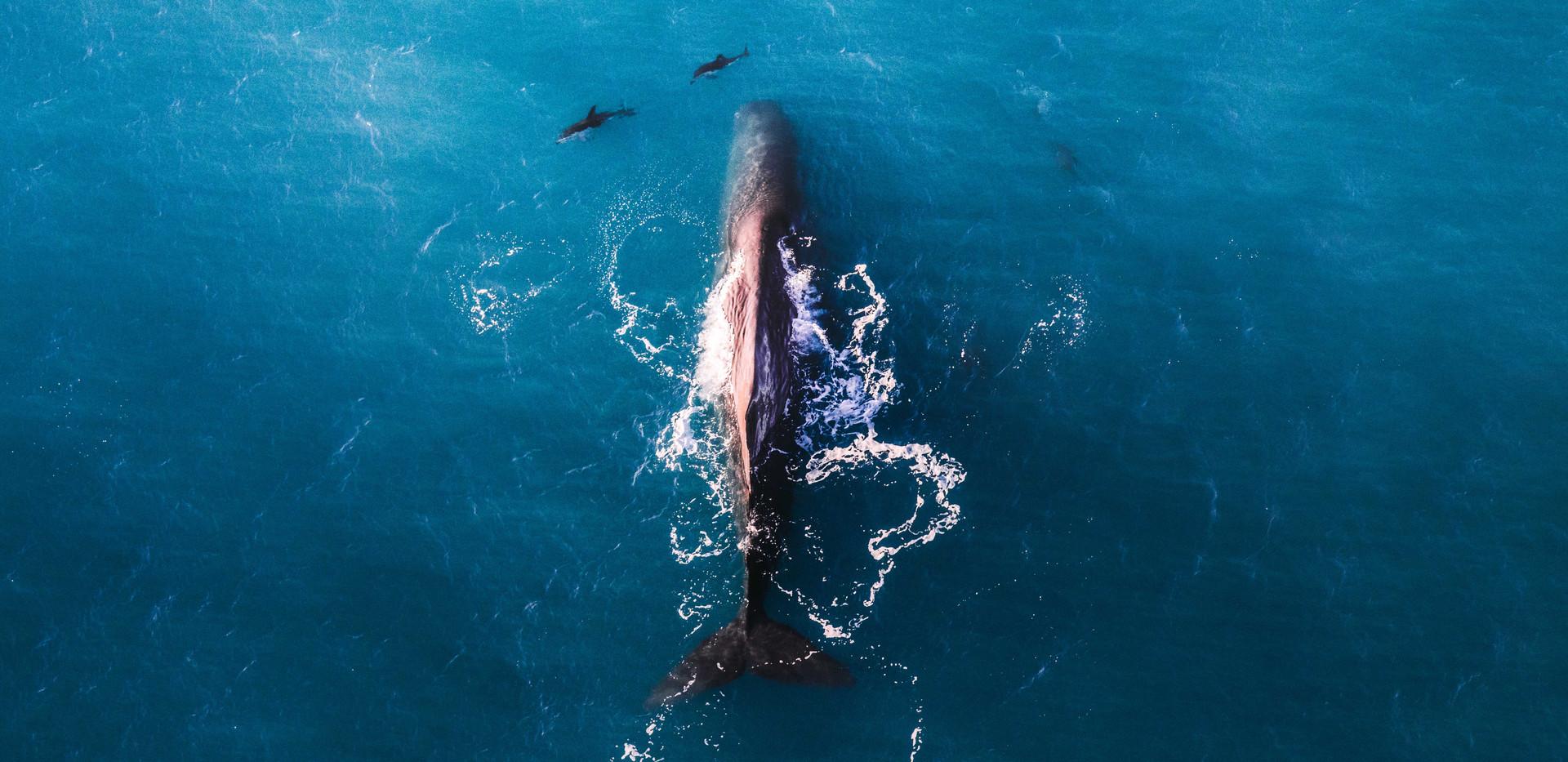 Sperm whale and dusky dolphins, Kaikoura