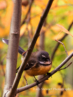New Zealand Fantail Bird