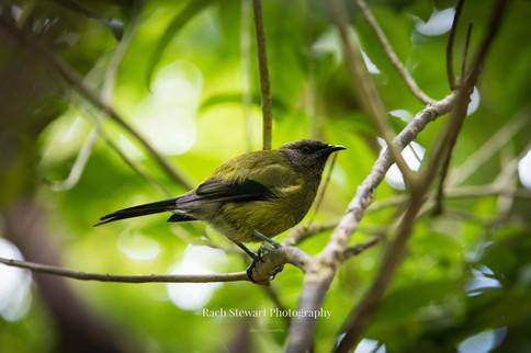 New Zealand Bell Bird