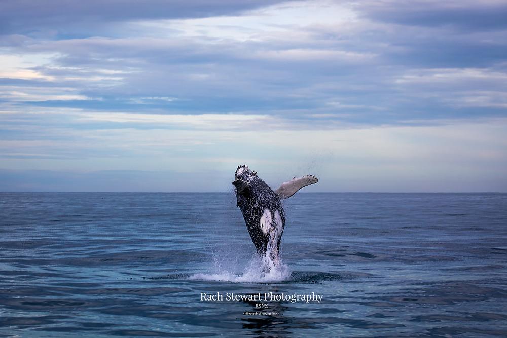 A juvenile humpback breaches in Kaikoura