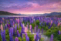 Lake Tekapo Lupins in Spring