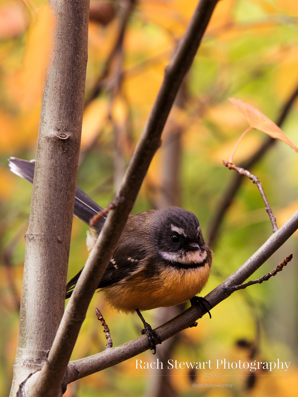 Fantail New Zealand
