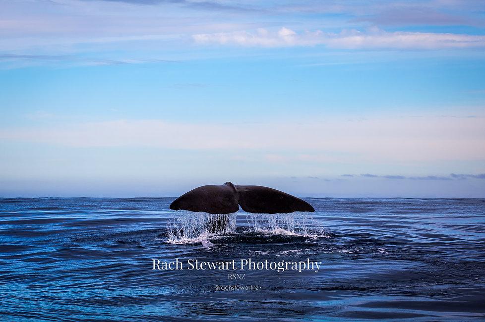 Kaikoura Sperm Whale