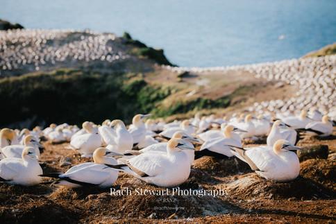 Great Barrier Island Gannets