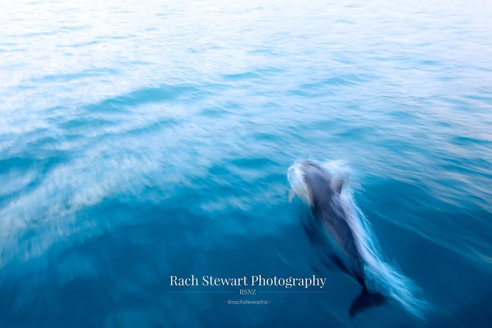 Dolphin swim Kaikoura