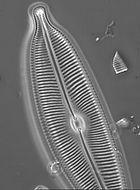 Diatom analysis, WFD, TDI, Trophic Diatom Index, Water framework Directive
