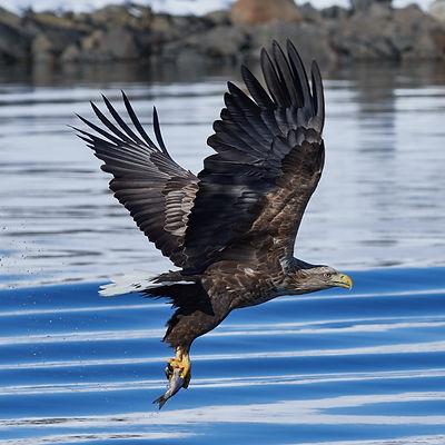 White_tailed_eagle_raftsund_square_crop.