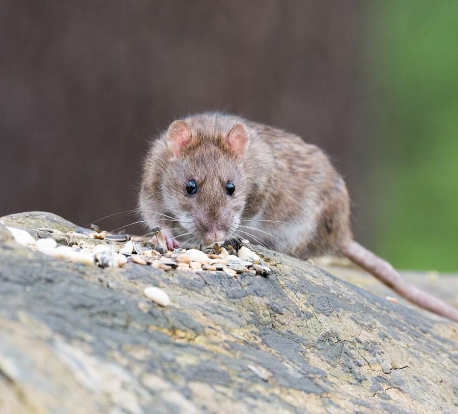 Hvad er tegn på rotter?