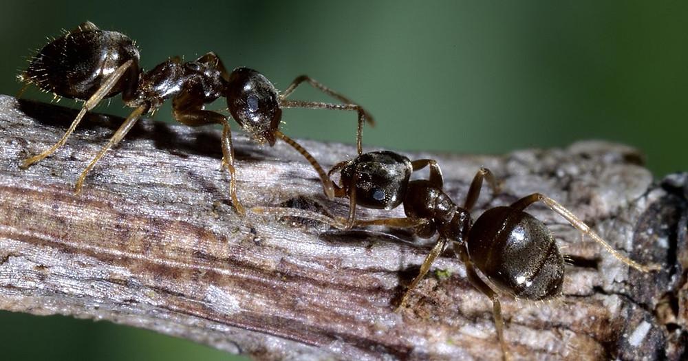 Hvor længe lever myrer?