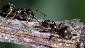Hvor længe lever myrer i Danmark?