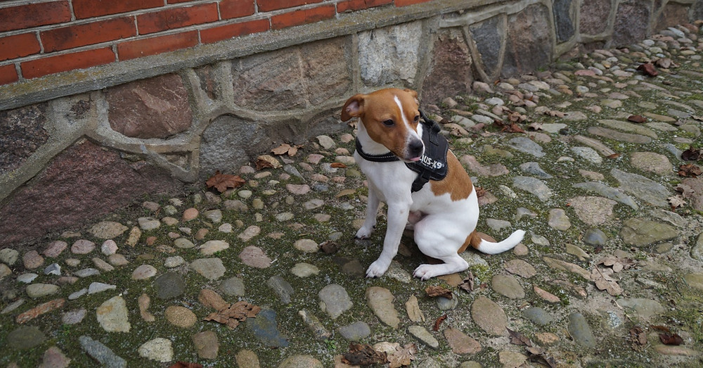 Rottehunde er dygtige rottefængere | MyreExpressen