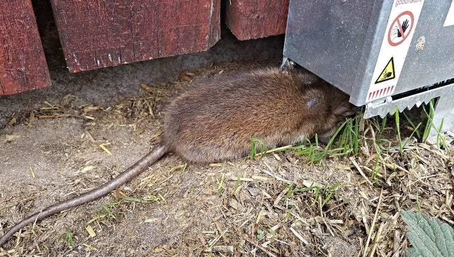Giftfri rottefælde | MyreExpressen