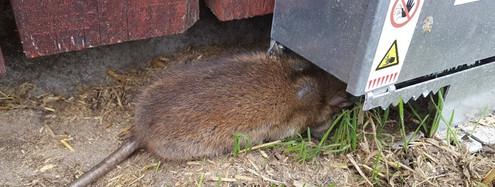 Giftfri rottebekæmpelse
