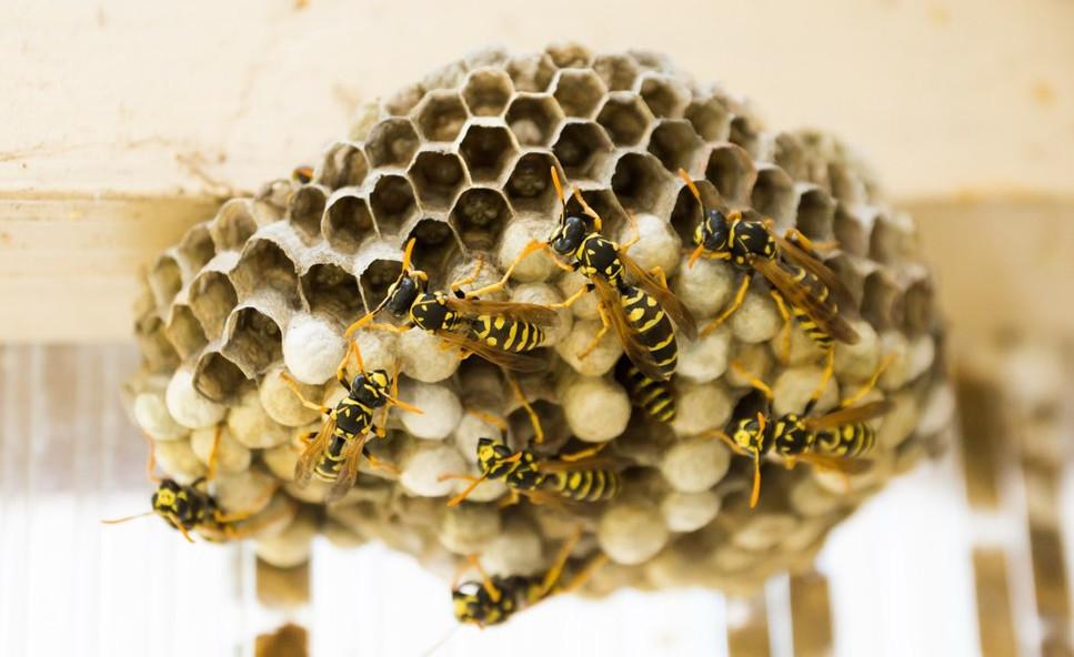 Hvepseboet bliver bygget | Hvepse i Danmark