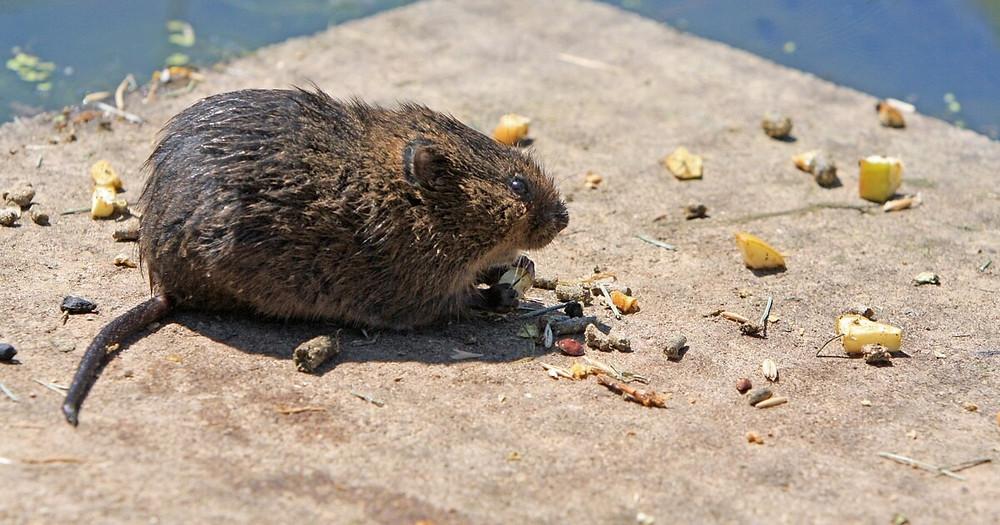 Det her er ikke en ægte mus; det er en rødmus, som tilhører familien af studsmus