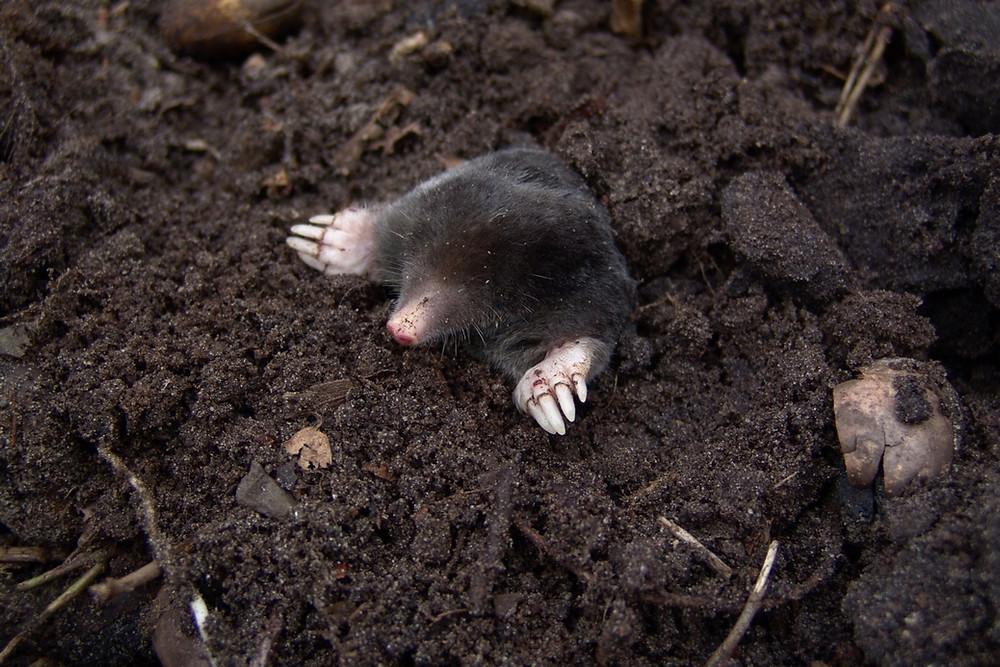 Muldvarpebekæmpelse i Fredericia | MyreExpressen