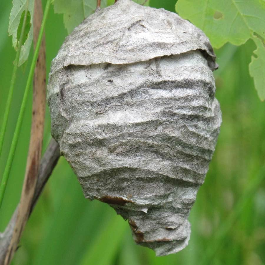 Et hvepsebo sidst på sæsonen | MyreExpressen