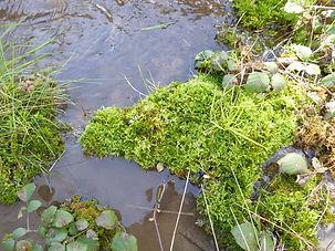 Brachythecium rivulare cascade moustier1