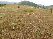 Centaurea paniculata grau-jenny.jpg