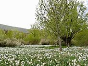 Narcissus poeticus, marais à engorgement