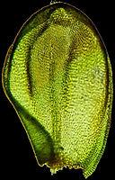 Pterigynadrum filiforme B.fe.w .jpg