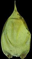 Hypnum cupressiforme var.lacunosum B.fe.