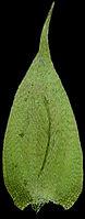 Platygyrium repens B.fe.w .jpg