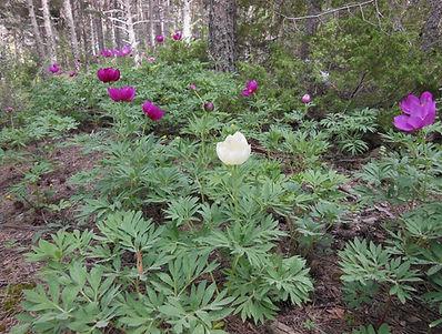 Paeonia officinalis ssp hulthii f. blanc
