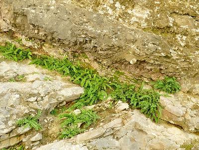Potentilletalia caulescentis Asplenium j