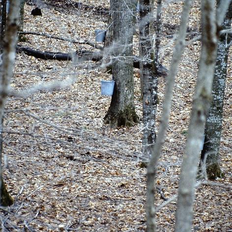 sap buckets in woods.jpg