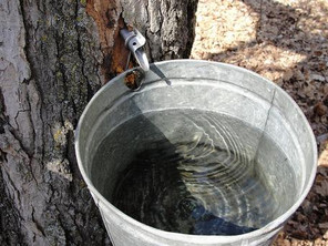 Maple Syrup: Healthy Native Foods