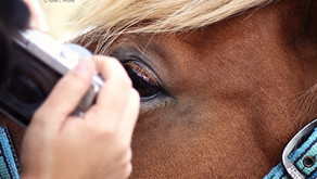 Stage d'initiation à l'Iridologie Équine, apprendre à regarder dans l'iris de votre cheval !