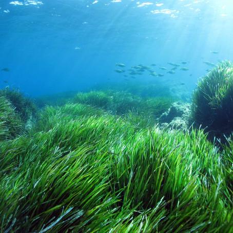 La posidonie: la forêt sous la mer Méditerranée