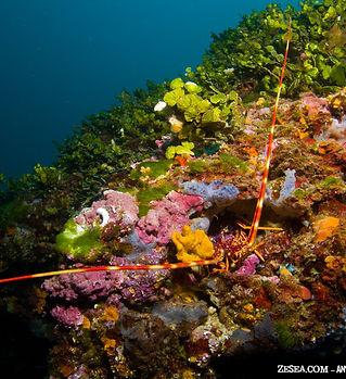 langouste dans coralligene.jpg